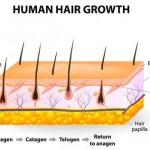 How Human Hair Grows